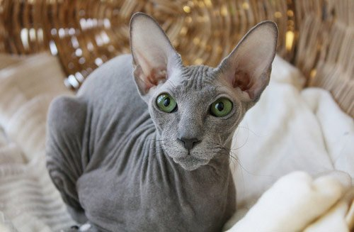 11 Cat Breeds that Don t Shed are very LOW SHEDDING
