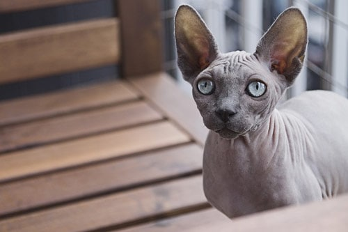 Cat Breeds That Don T Shed A Lot