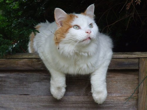10 Largest Domestic Cat Breeds (SOME ARE HUGE!)