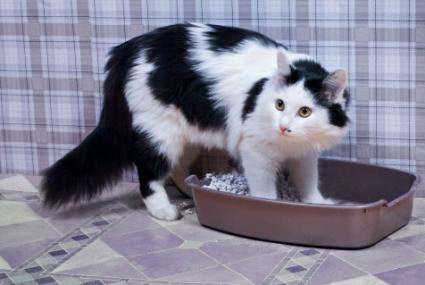 cat with urinary health problems