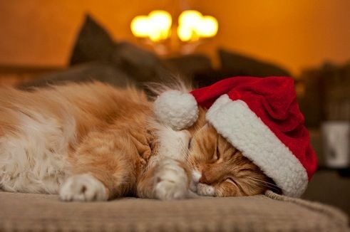 cute cat with hat sleeps soundly